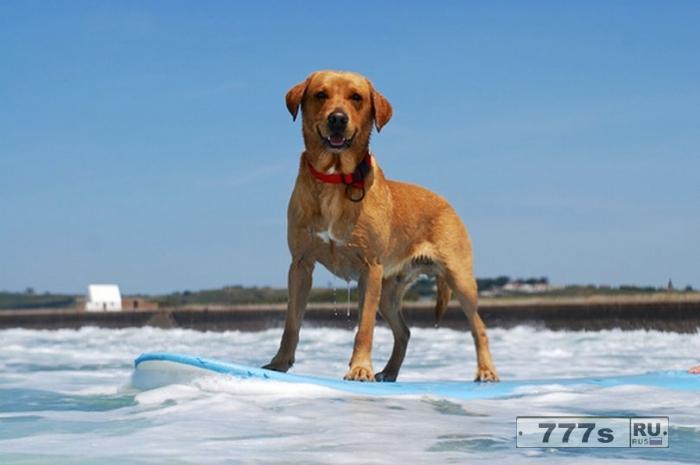 Знакомьтесь Тико, лабрадор, занимающийся серфингом со своим владельцем.