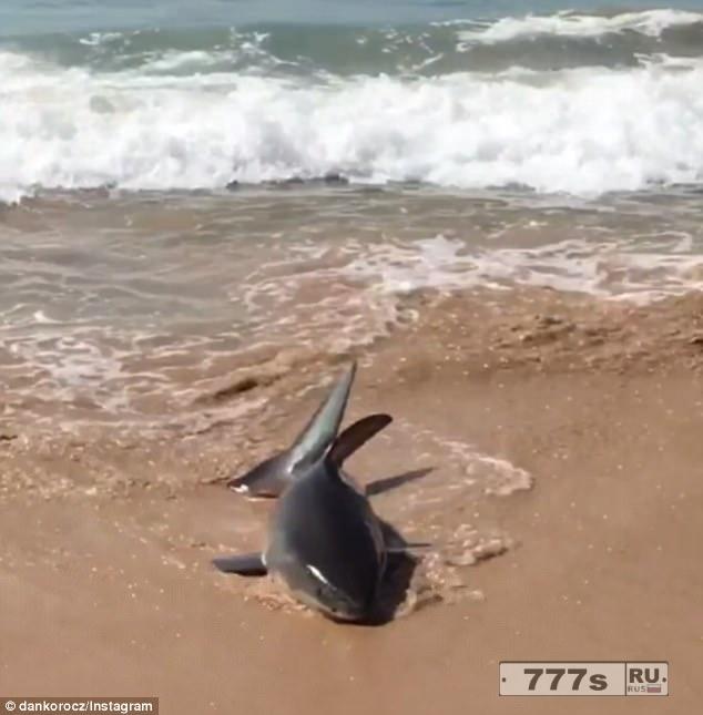 На пляж Сиднея выбросило большую белую акулу, и её поместили в близлежащий океанский бассейн.