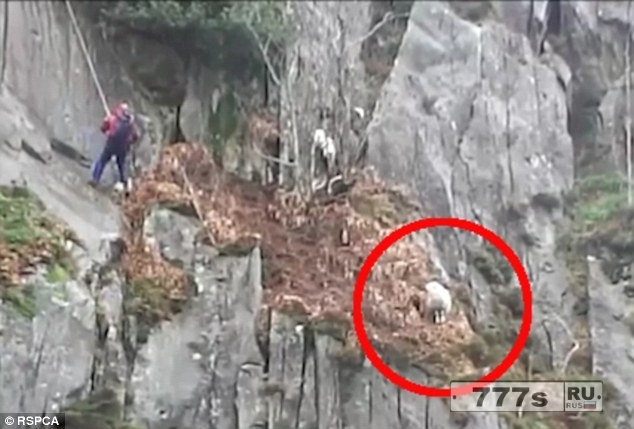 Пожарные проехали 350 миль, чтобы спасти застрявшую овцу.