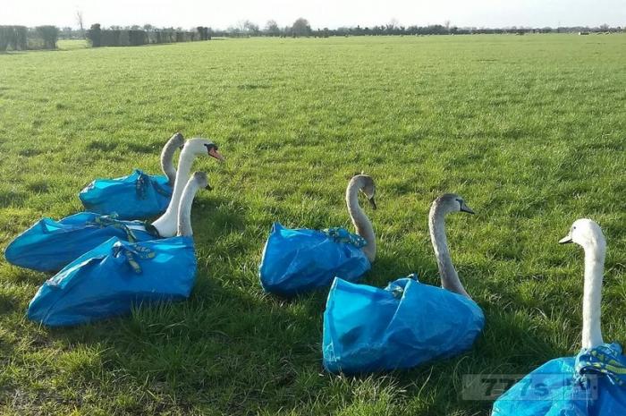 Птичий заповедник использует знаменитые синие мешки ИКЕА для спасения лебедей