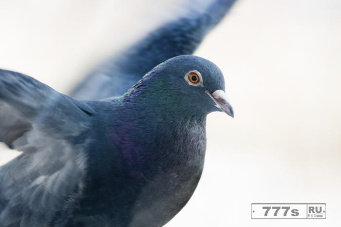 При многозадачности мозг голубей работает лучше, чем у людей.