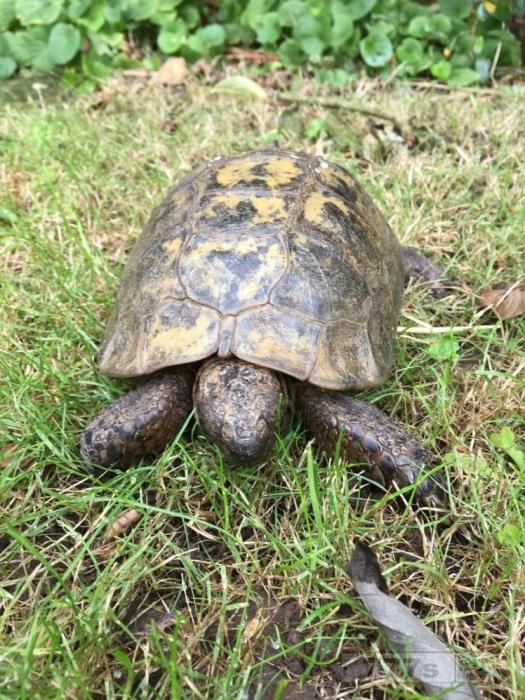 «Сексуально озабоченный» самец черепахи пропутешествовал шесть миль до местного зоопарка в поисках секса.