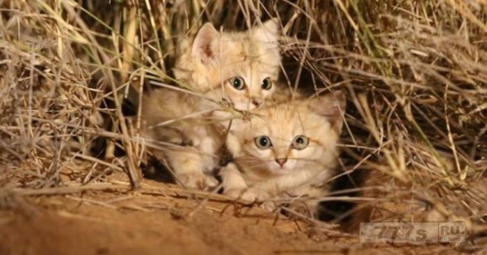 Очаровательные котята песчаной кошки были сняты на видео в первый раз