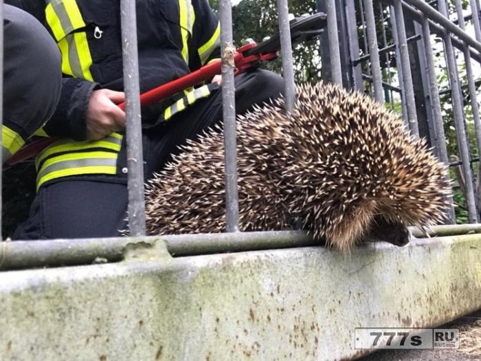 Пожарные спасли ежика, который застрял в заборе.