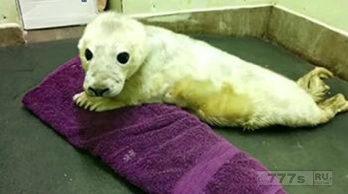 Ребенок тюлень оказался сиротой и не отпускает полотенце после того, как потерял мать.
