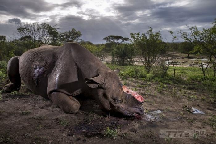 Фотография черного носорога с отрубленным рогом стала победителем Фотограф года дикой природы.