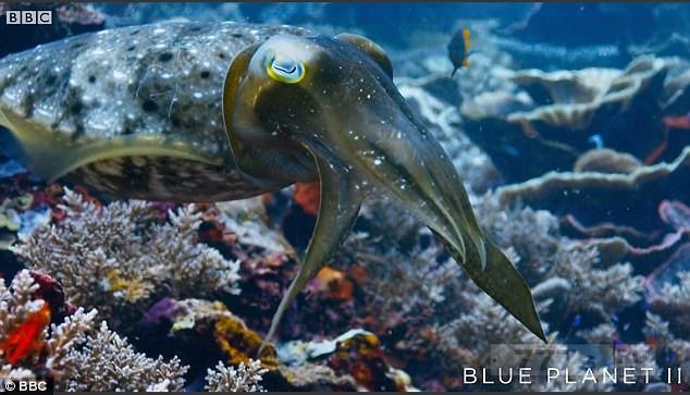 Удивительный момент, каракатица использует свою меняющую цвет кожу для гипноза краба.