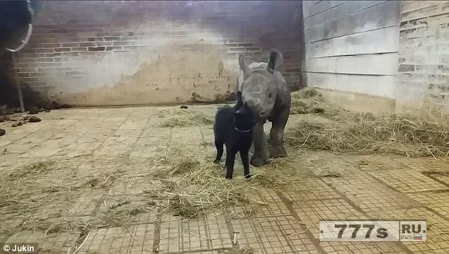 Прелестный момент очень ласковая кошка обнимается с носорогнёнком