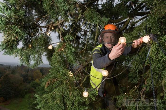Самая большая рождественская елка Великобритании будет украшена 1800 праздничных огнями.