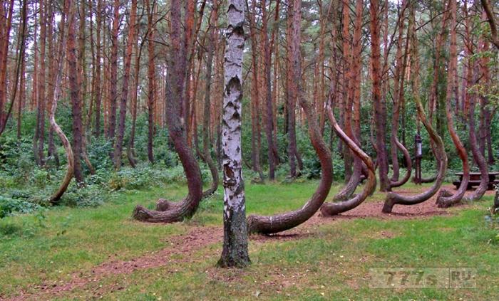 Таинственный лес с кривыми деревьями на территории Польши