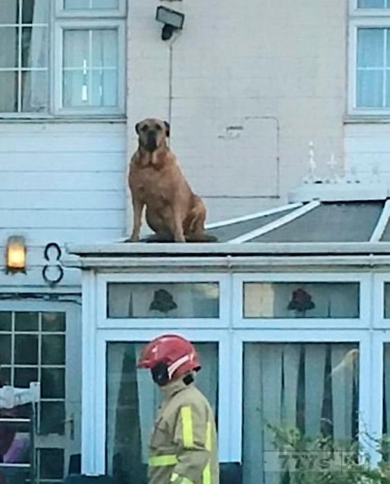 Бесстрашная собака Мастиф весом более 38 кг застряла на тепличной крыше.