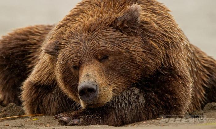 Как ведут себя медведи после того, как просыпаются