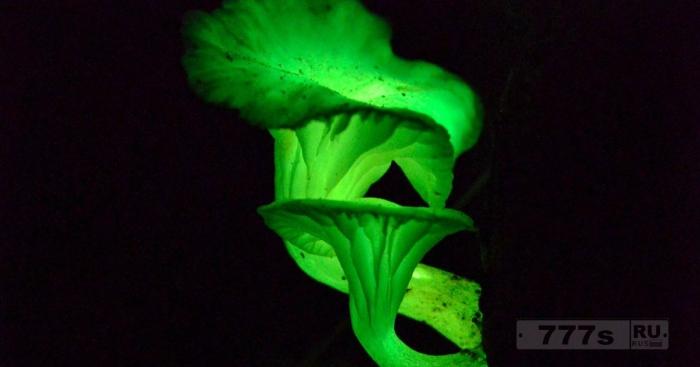 Необычное явление свечения грибов
