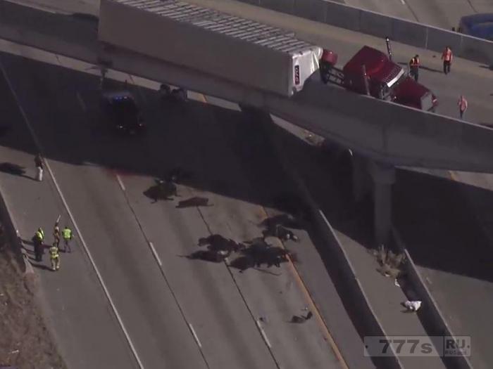 При аварии грузовика на эстакаде в штате Юта выпало 25 коров.