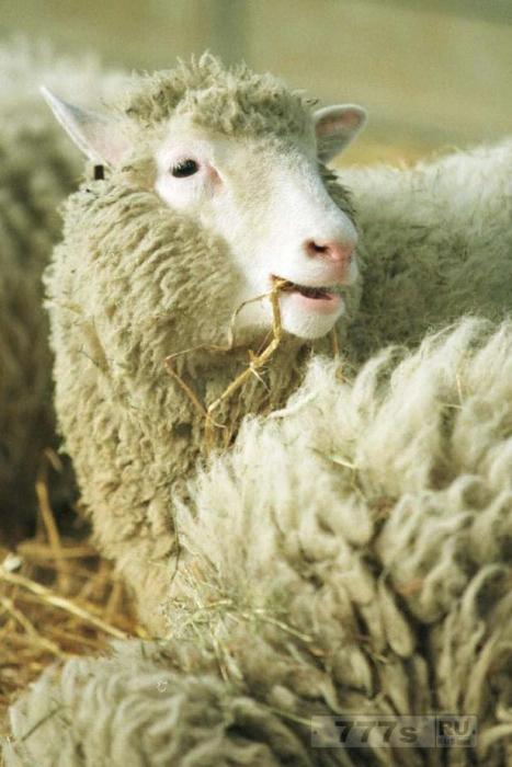 Овца Долли не умерла преждевременно из-за клонирования - ученые утверждают, что она была такой же здоровой, как и обычная овца