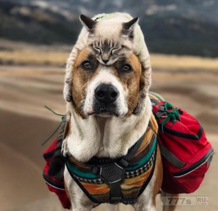 Эти друзья неразлучны кошка предпочитает быть вместе с собакой даже в путешествиях.