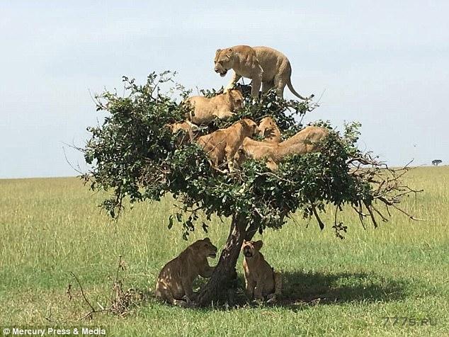 Шесть львов неуверенно балансируют на вершине крошечного дерева