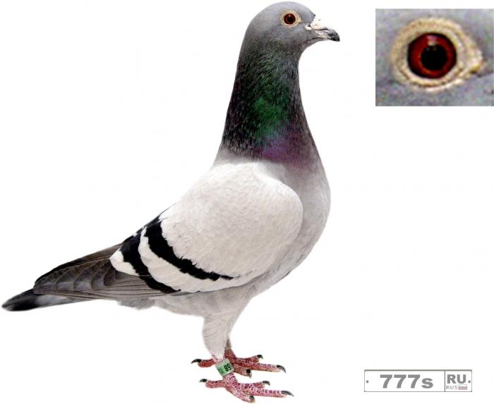 Ученые обнаружили, что голуби достаточно умны, чтобы понимать такие понятия, как время и пространство.