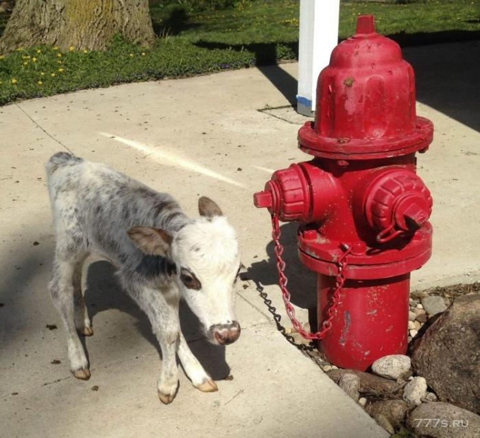 Кто-то разводит мини-коров, чтобы люди могли держать их как дома