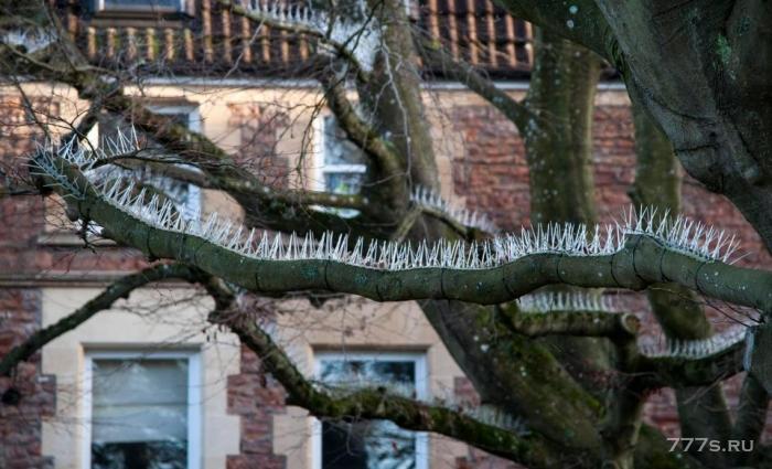 Жители поставили шипы «против птиц» на деревьях за пределами своих домов, чтобы остановить голубей, пачкающие их BMW и Audi