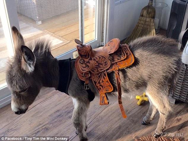 Знакомьтесь с Tiny Tim очаровательным осликом, который «играет, балуется и спит» со своими друзьями-щенками.