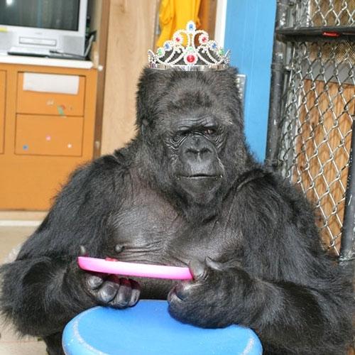 Самая умная горилла