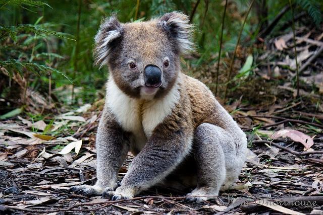 Что за зверь такой коалы