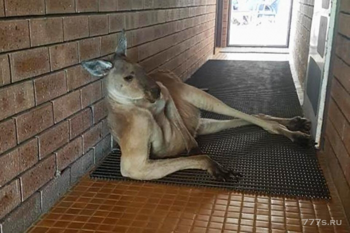 Смешная фотография развалившегося кенгуру, заблокировавшего вход в общественные туалеты в Перте