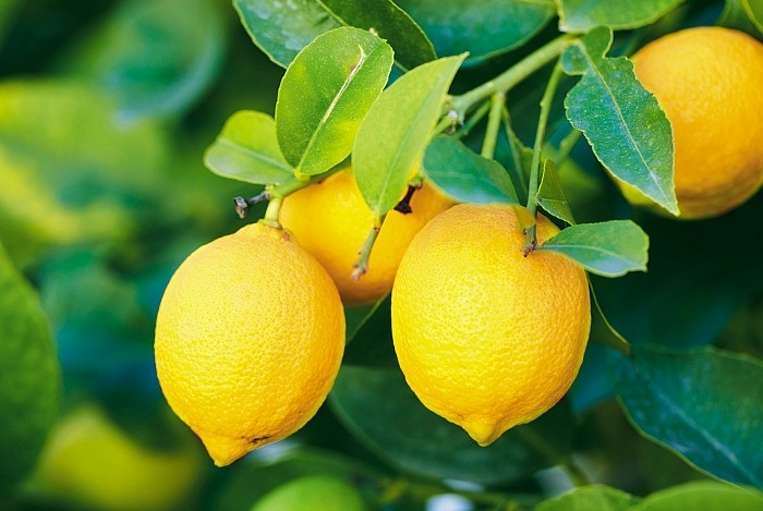 Чем интересен лимон
