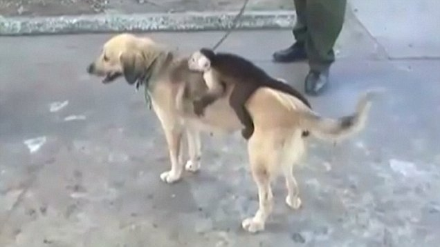 Собака стала опекать обезьянку, когда она потеряла весь помет своих щенков