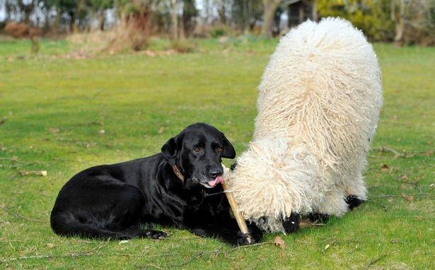 Овца Марли, которая думает, что она собака, берет уроки, как себя вести у ягненка
