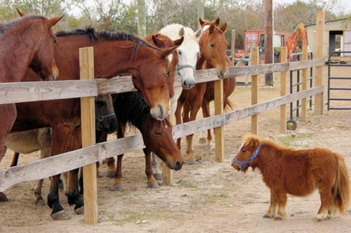 Очаровательная лошадка Мунчи может быть самая маленькая в мире с длиной всего 63 см