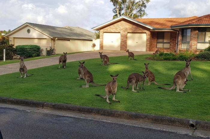 Женщина в ужасе, когда она столкнулась с 12 кенгуру на лужайке