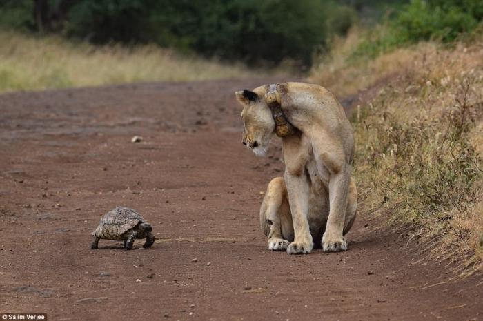 Странная сцена, когда черепаха подходит ко львице на пыльной дороге
