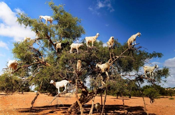 Сколько козлов вы можете насчитать на фруктовом дереве?