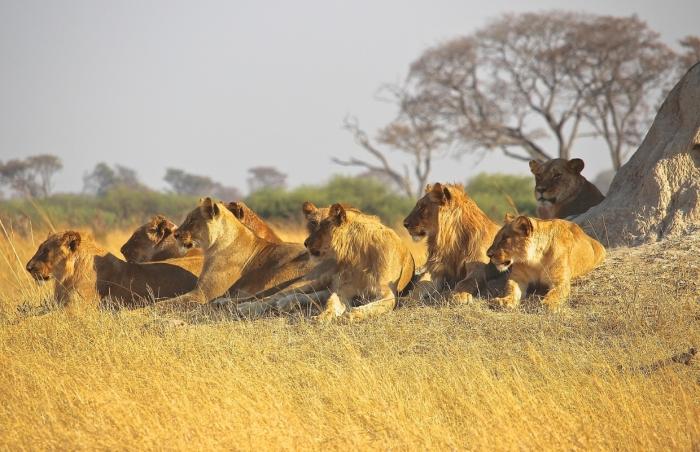 Браконьер, съеден прайдом львов, на которых он пытался охотиться в Южной Африке