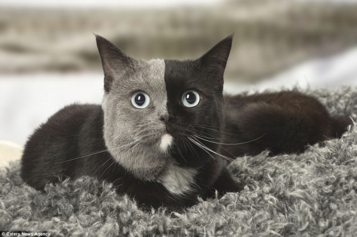 Британская короткошерстная кошка имеют безупречно разделенную пополам на серую и черные цвета мордочку