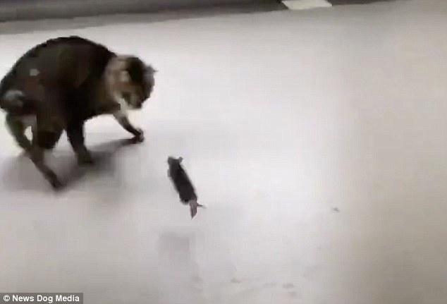 Замечательный момент, когда злобный грызун нападает на кошку и пугает её