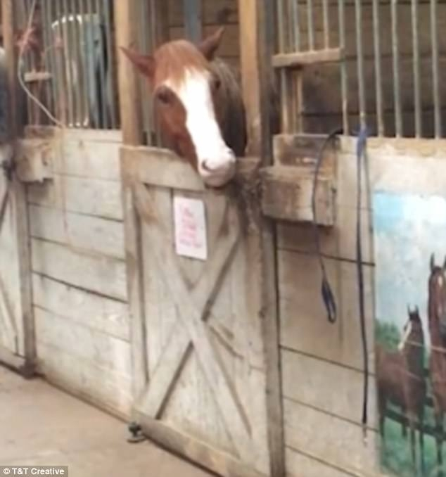 Лошадь Колби была снята как она открывает дверь стойла зубами и отправляется на прогулку самостоятельно