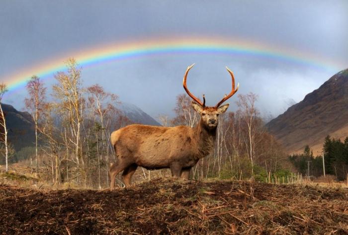 Захватывающие фотографии показывают одинокого оленя под идеальной радугой в Шотландии