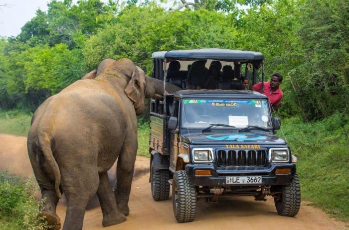 Страшный момент сердитый слон чуть не перевернул сафари-джип в Шри-Ланке