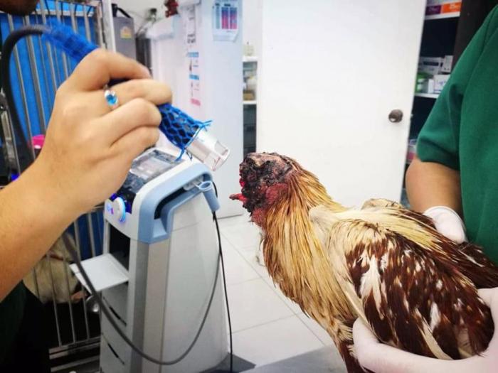 Этот цыпленок «выжил в течение девяти дней после того, как его голову отрубили», - и интернет не справляется с массой обсуждений