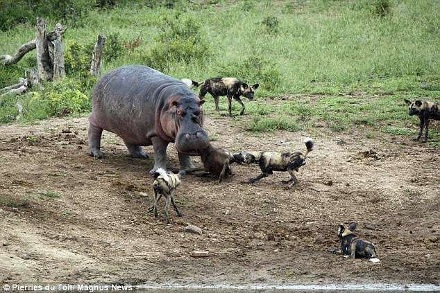 Бегемот противостоит гиенам: животные борются за тушу животного ... но может быть только один победитель