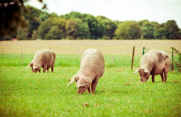 Удалось создать свиней, которые имеют органы человека