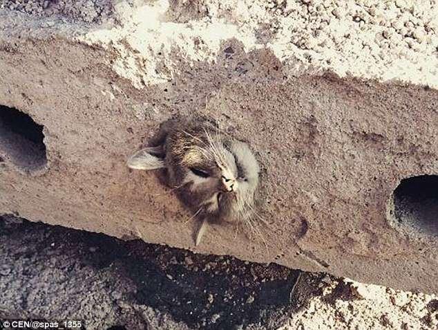 Кот вообще не дышит, когда спасатели достают его из бетонной плиты на строительной площадке