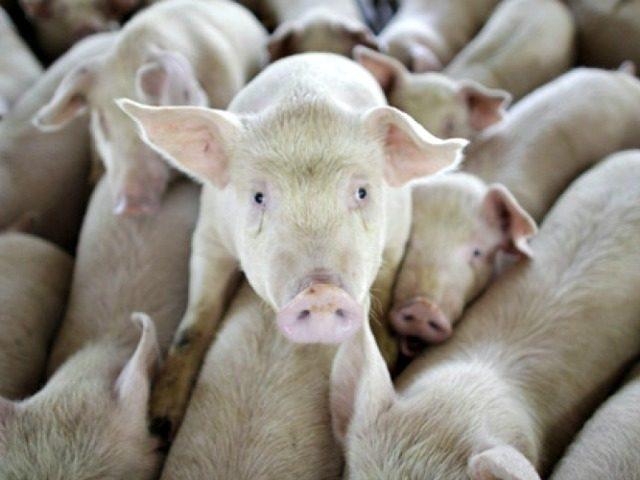 Мозги выжили вне тела свиньи в эксперименте, который предполагает, что люди могут достичь бессмертия