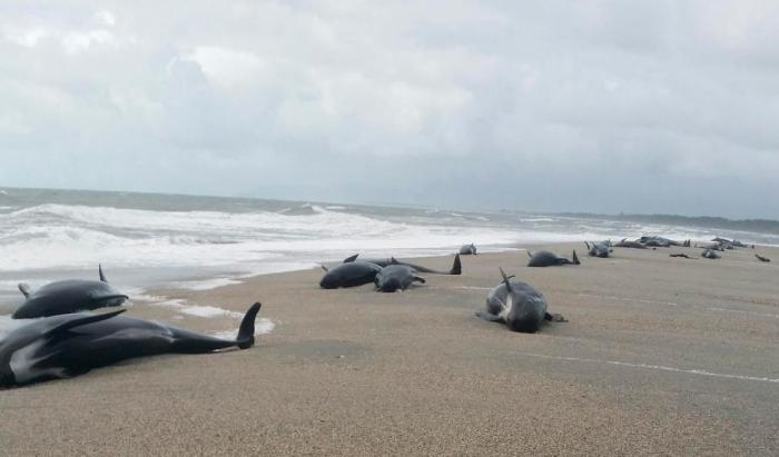 Загадка, почему 38 черных дельфинов обнаружили на пляже в Новой Зеландии