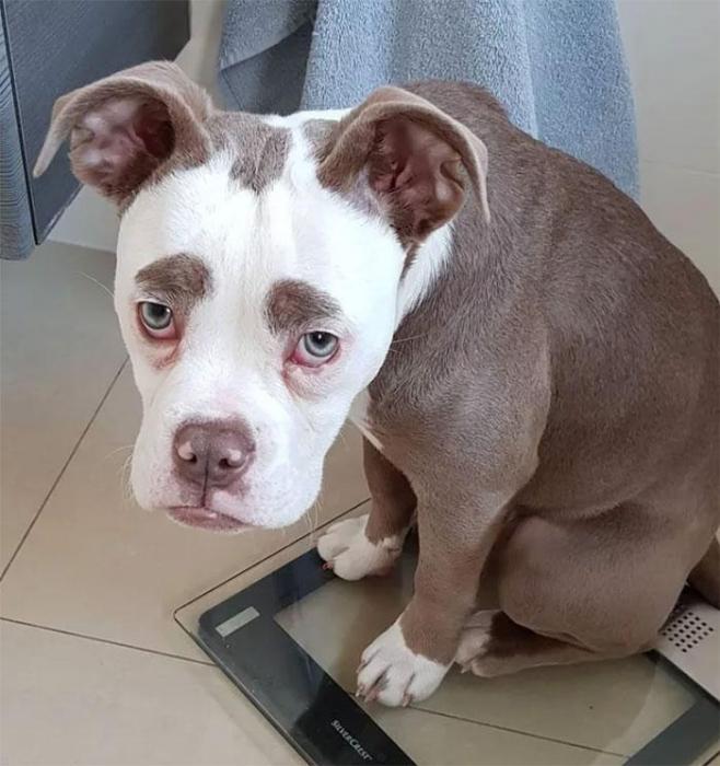 У знаменитой собаки Мадам Брови самая грустная мордочка в мире - и она уже имеет 32 000 поклонников в Инстаграм