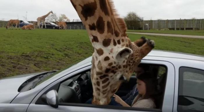 Окно машины разбивается о голову жирафа, когда пара в панике пытается закрыть его, а жираф думал, что его чем-то угостят