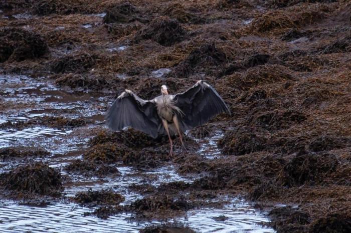 Цапля на шотландском озере сфотографирована так, что она похожа на Ангела Смерти